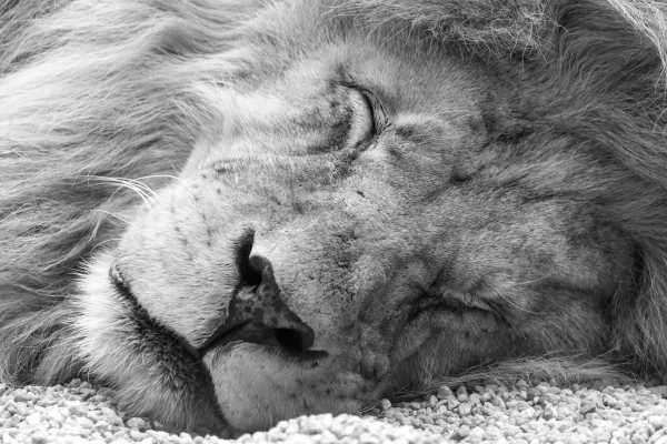 Llión durmiendu